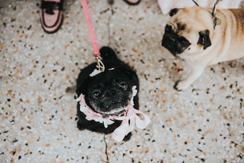 Couple's pugs, At Worthing Dome Wedding